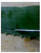 Cutting aloe