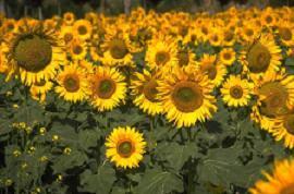 sunglowers in field