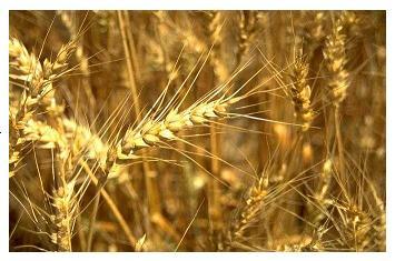 wheat heads